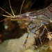 Common Prawn - Photo (c) Stefan, some rights reserved (CC BY-NC)