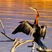 African Darter - Photo (c) Arno & Louise, some rights reserved (CC BY-NC)