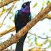 Splendid Starling - Photo (c) Nik Borrow, some rights reserved (CC BY-NC)
