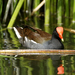Common Gallinule - Photo (c) Kakalotli, some rights reserved (CC BY-NC)