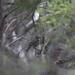 Zoothera lunulata halmaturina - Photo (c) ed_shaw, algunos derechos reservados (CC BY-NC)