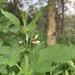 Leonotis nepetifolia africana - Photo (c) Riana Fourie, alguns direitos reservados (CC BY-NC)