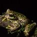 Plectrohyla quecchi - Photo (c) Wouter Beukema, algunos derechos reservados (CC BY-NC)