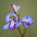 Disa graminifolia - Photo (c) peterswart, algunos derechos reservados (CC BY-NC)