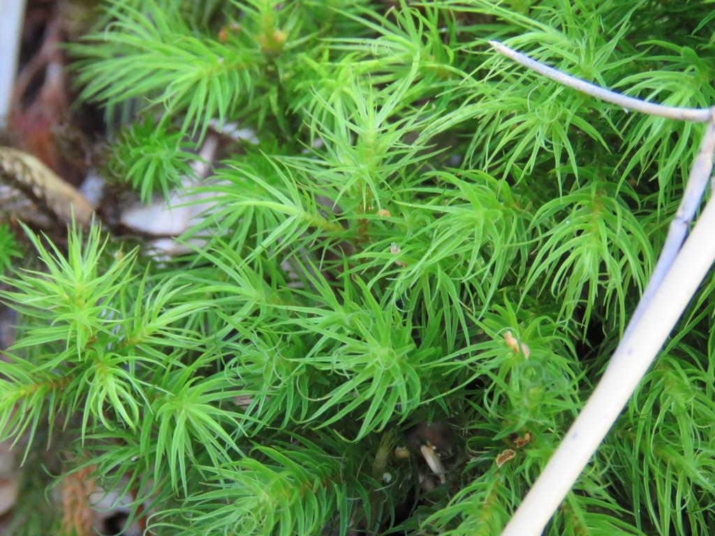 Dendroligotrichum dendroides - Photo (c) Nicolas Olejnik, algunos derechos reservados (CC BY-NC)