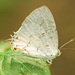 Pale Ministreak - Photo (c) Karl Kroeker, some rights reserved (CC BY-NC)