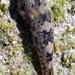 Chupapiedra de Cortés - Photo (c) David Vander Pluym, algunos derechos reservados (CC BY-NC)