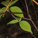 Dogwood Golden Canker - Photo (c) John Plischke, some rights reserved (CC BY-NC-SA)
