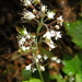 Threeleaf Foamflower - Photo (c) Peter Stevens, some rights reserved (CC BY)