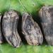 Claviceps zizaniae - Photo (c) John Plischke, alguns direitos reservados (CC BY-NC-SA)