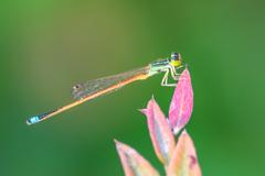 Aurora Bluetail