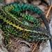 Liolaemus pictus - Photo (c) felipe1985, alguns direitos reservados (CC BY-NC)