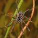 Diapontia uruguayensis - Photo (c) Lucas Rubio,  זכויות יוצרים חלקיות (CC BY-NC)