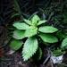 Ortiga Menor - Photo (c) Zoology123, algunos derechos reservados (CC BY-NC)