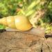 Drymaeus sulphureus - Photo (c) Jan Meerman, osa oikeuksista pidätetään (CC BY-NC)