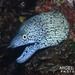 Y-patterned Moray - Photo (c) Nigel Marsh, some rights reserved (CC BY-NC)