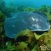 Bathytoshia brevicaudata - Photo (c) Nigel Marsh,  זכויות יוצרים חלקיות (CC BY-NC)