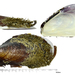 Modiolus modiolus - Photo (c) Kim, Hyun-tae, algunos derechos reservados (CC BY-NC-SA)