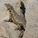 Karoo Girdled Lizard - Photo (c) Joachim Louis, some rights reserved (CC BY-NC-ND)