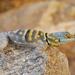 Lagartija de Piedra Sudcaliforniana - Photo (c) Jesus Gordolomi Butterball RC, algunos derechos reservados (CC BY-NC)