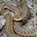 Thamnophis sirtalis pallidulus - Photo (c) Jim Brighton, osa oikeuksista pidätetään (CC BY-NC)