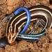 Plestiodon - Photo (c) Judy Gallagher,  זכויות יוצרים חלקיות (CC BY), uploaded by Judy Gallagher