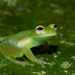 Dwarf Glass Frog - Photo (c) Brian Gratwicke, some rights reserved (CC BY)