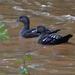 Pato Negro Africano - Photo (c) Nik Borrow, algunos derechos reservados (CC BY-NC)