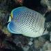 Chaetodon guttatissimus - Photo (c) Karen Willshaw, algunos derechos reservados (CC BY-NC)