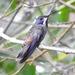 Colibri delphinae - Photo (c) Laura Gaudette,  זכויות יוצרים חלקיות (CC BY)