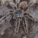 Lasiodora - Photo (c) Alexandre S. Michelotto, some rights reserved (CC BY-SA)