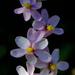 Ixia scillaris - Photo (c) Wilferd Duckitt,  זכויות יוצרים חלקיות (CC BY)