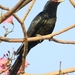 Asian Koel - Photo (c) Soh Kam Yung, some rights reserved (CC BY-NC)