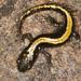 Salamandra Dedos Largos - Photo (c) Lynette Schimming, algunos derechos reservados (CC BY-NC)