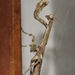 African Stick Mantis - Photo (c) Lindi Eksteen, some rights reserved (CC BY-NC)