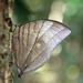 Amathuxidia amythaon annamensis - Photo (c) Oleg Kosterin, algunos derechos reservados (CC BY)