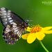 Mariposa Dardo Blanco de Banda Delgada - Photo (c) Eduardo Axel Recillas Bautista, algunos derechos reservados (CC BY-NC)