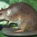 Isoodon auratus - Photo (c) Mark Marathon,  זכויות יוצרים חלקיות (CC BY-SA)