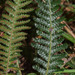 Rasp Fern - Photo (c) Mike Lusk, some rights reserved (CC BY-NC)
