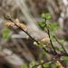 Dwarf Birch - Photo (c) Svetlana Nesterova, some rights reserved (CC BY-NC)