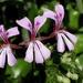 Pelargonium peltatum - Photo (c) Gawie Malan, algunos derechos reservados (CC BY-NC)