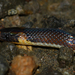 Lehmann's Ground Snake - Photo (c) Josh Vandermeulen, some rights reserved (CC BY-NC-ND)