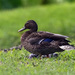 Hawaiian Duck - Photo (c) Donna Pomeroy, some rights reserved (CC BY-NC)
