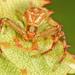 Mecaphesa asperata - Photo (c) Judy Gallagher, algunos derechos reservados (CC BY)
