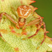 Mecaphesa asperata - Photo (c) Judy Gallagher, osa oikeuksista pidätetään (CC BY)
