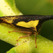 Locust Treehopper - Photo (c) Judy Gallagher, some rights reserved (CC BY)