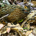 Odontophorus guttatus - Photo (c) Steven Easley, μερικά δικαιώματα διατηρούνται (CC BY-NC)