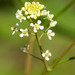 Lepidium virginicum - Photo (c) Steve Jones,  זכויות יוצרים חלקיות (CC BY-NC)