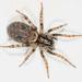 Lycosoidea - Photo Oikeuksia ei pidätetä