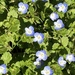 Bird's-eye Speedwell - Photo (c) alan-otter, some rights reserved (CC BY-NC)